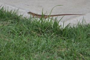撮影 カナヘビ
