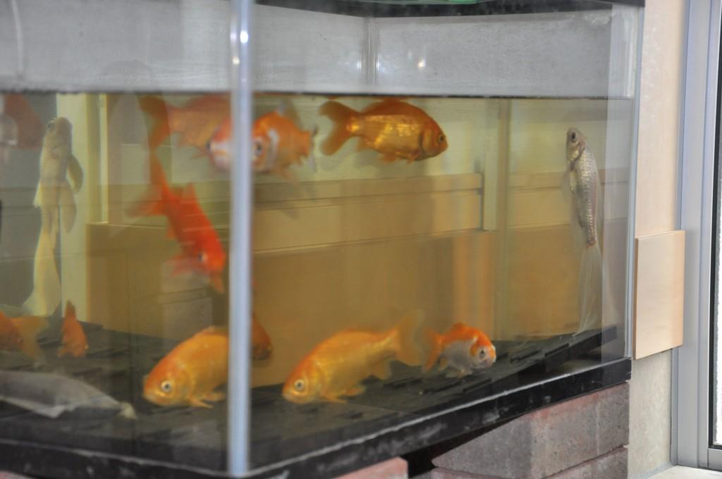 立ち泳ぎ 金魚