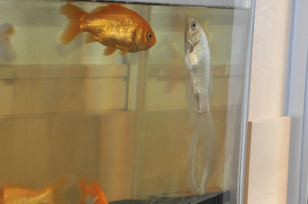 金魚 立つ